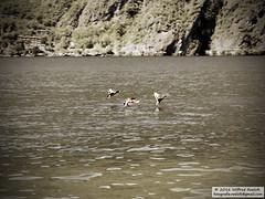 DSC_6601bw (Roelofs fotografie) Tags: lake alps bird nature water birds animal animals sepia lago duck nikon hill vogels natuur wave adobe alpen dieren lugano dier italie eend wilfred vogel 2016 d3200 porlezza roelofs