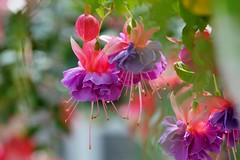 """フクシア・'シルバーウィングス'/ Fuchsia hybrida 'Silver Wings' (nobuflickr) Tags: flower nature japan botanical kyoto 日本 花 """"the garden"""" 京都府立植物園 awesomeblossoms アカバナ科フクシア属 20160422dsc07946 フクシア・'シルバーウィングス' fuchsiahybridasilverwings"""