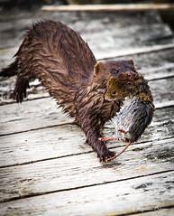 Vison - Mink  -  Rjean Biron - photographie (rjean2013) Tags: female mink vison campagnol femelle