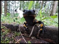 ENCOUNTER IN THE STYRIAN FOREST TODAY (LitterART) Tags: wood dog chien forest nikon salamander hund wald steiermark styria spottedsalamander firesalamander p330