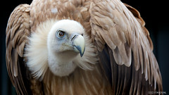 Griffon vulture (stavos) Tags: bird canon prey vulture griffon 550d stavosnl