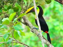P4278760 (lychee_vanilla) Tags: bird animal toucan costarica tier tucn blackmandibledtoucan ramphastosambiguus vigel quioro tucnpiconegro