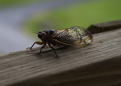 143/366 Another Cicada (zodia81) Tags: bug cicada insect wv westvirginia 2016 aphotoaday seventeenyearcicada 366 17years 365project aphotoeveryday