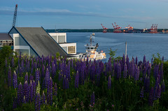 lupins (angie pineappletree) Tags: dartmouth woodside harbour halifax bluehour ferryterminal coast atlantic summer novascotia canada