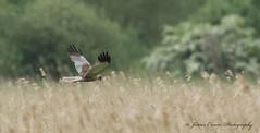 Marsh Harrier ... Explored 26-5-16 (Jim Crozier) Tags: canoneos1dx canon300mmf28l2xiii marshharrierstrumpshawfen23516