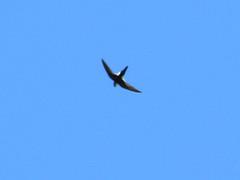 White-throated swift - Vaseux Lake, BC (elTwister) Tags: swift whitethroated aeronautes saxatalis