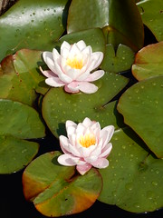 DSCN2935 (zeetha) Tags: waterlillies monkshouse