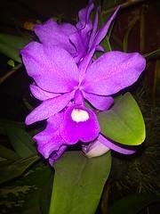 Orquídeas - El Salvador