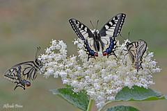 Papilio machaon (trio) Explore (alfvet) Tags: macro nature nikon ngc butterflies natura npc insetti papilio farfalle parcodelticino platinumheartaward veterinarifotografi