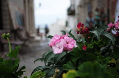 Pelargonium (SS) Tags: street flowers summer vacation people italy holiday flower pentax bokeh depthoffield vieste k5 2016 gargano ss kepcorautowideanglemc28mm128