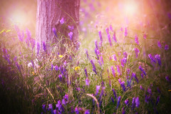 """Where the magic lies.."" (Ilargia64) Tags: pink flowers light tree nature forest spring magic softness happiness lilacs warmcolors magicallight amayasanchez"