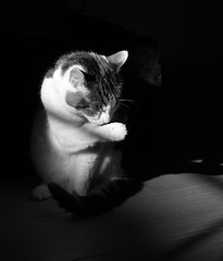 Getting ready for the night (Hilde Saelens) Tags: bw cats white black katten zwart wit zww knuf