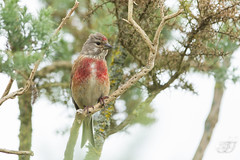 Linotte mlodieuse (Tifaeris) Tags: bird oiseau cardueliscannabina commonlinnet linottemlodieuse fringillids passriformes