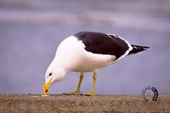 barranco amarillo punta arenas - chile (sapunaralex) Tags: chile mar aves alimento gaviota estrecho magallanes puntaarenas