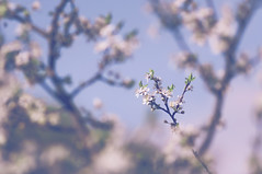 Happy Tree-mendous Tuesday, my friends! (Paulina_77) Tags: pink flowers blue trees light shadow sky white blur flower tree nature closeup vintage lens cherry prime spring blurry nikon soft mood branch moody shadows dof artistic blossom bokeh outdoor pov pastel branches dream atmosphere scene depthoffield mount soviet pastels ethereal m42 bloom romantic greenery botanic buds dreamy elusive bud shallow manual jupiter delicate dreamlike russian daydream depth atmospheric tender gentle springtime foreground selective subtle blooming focusing d90 bloomy jupiter37a 135mmf35 nikond90 jupiter37a135mmf35 jupiter135 pola77