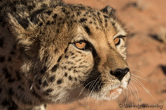 159-Cheetah_Dunes-013 copy (Beverly Houwing) Tags: africa face closeup cat amber eyes feline stare cheetah
