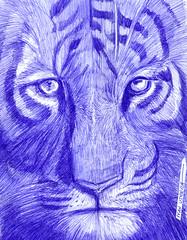 tigre a lapicero (ivanutrera) Tags: tigre draw dibujo drawing dibujoalapicero dibujoenboligrafo boligrafo animal wild wildlife sketch sketching tiger lapicero pen