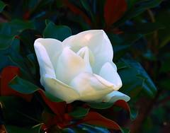 Magnolia Blossum in Gulley Park - Fayetteville, Arkansas (danjdavis) Tags: flower whiteflower magnolia arkansas fayetteville floweringtree gulleypark magnoliablossum