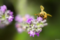 /  honey bee and lavender (March Hare1145) Tags: insect bee