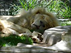White Lion (Phil Guest) Tags: lasvegas nevada mirage secretgarden siegfriedroy