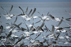 Gulls Everywhere (Parksville Qualicum Beach) Tags: ocean seagulls canada beach birds bc gulls vancouverisland