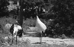 Red Crowned Crane Bird (heliarkorea) Tags: slr bird zoo md crane kodakbw400cn minoltaxgm