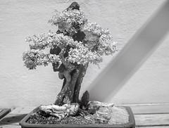 DSC_3841s (An Xiao) Tags: arboretum bonsai penjing