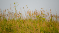 the grass of the prairie (contemplative imaging) Tags: park summer plants usa abstract hot nature field grass june digital america photography photo illinois nikon midwest soft meditate day dof natural bokeh district saturday conservation peaceful sunny center il depthoffield ill american area grasses serene abstraction meditation prairie dslr 169 contemplative contemplate tranquil headwaters 2016 midwestern mchenrycounty naturalabstraction kishwaukee 9x16 d7000 contemplativeimaging ronzack nik55300 20160625 cikhca20160625d7000209 cikhca20160625d7000