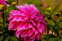 Dahlia after rain (Rajavelu1) Tags: pink dahlia india plant flower green art garden creative ooty artland macrophotograph canon6d