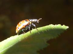 Oogvleklieveheersbeestje  (Anatis ocellata) (Frank Berbers) Tags: macro insect ladybug kfer marienkfer kever coleoptera zuidlimburg lieveheersbeestje brunssummerheide coccinellinae anatisocellata augenmarienkfer oogvleklieveheersbeestje nikoncoolpixs9500 eyedladybug augenfleckmarienkfer coccinelleocelles anatisocell