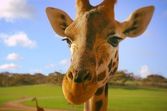 The giraffe is the only animal born with horns
