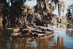 48 (kylen.louanne) Tags: portrait nature cat louisiana alligator gators bayou swamp cypresstrees lakemartin breauxbridge swampcat