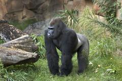 Silver Back Gorilla (i-Tours) Tags: usa nebraska omaha