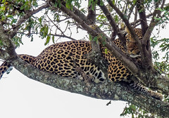 A Leopard rests on a tree in the Masai Mara. (Maganjoh) Tags: tourism nature animals nikon kenya wildlife leopard bigcats carnivores masaimara coolpixp510