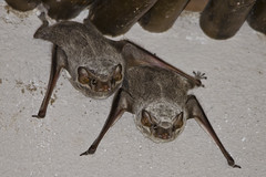 #244 Mauritian Tomb Bat (bsmity13) Tags: africa trip brown color animal wall concrete mammal beige flickr gray bat places housing 365 projects offwhite habitat swaziland share vertebrate anthropogenic microchiroptera mauritiantombbat taphozousmauritianus 365speciesproject