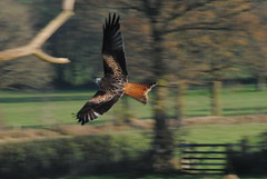 Red Kite - Low Pass (Clint__Budd) Tags: southwales breconbeacons redkite redkitefeedingstation