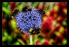 Late Autumn havy Traffic  .... (scorpion (13)) Tags: blue autumn plant flower colour globe traffic blossom thistle bee frame bumble photoart