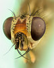 Focus stacking: fly (mnielsen9000) Tags: macro fly extrememacro focusstack highmagnification zerenestacker nikoncfiplan10x025∞ nikond7100