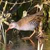 Ice Rail (SteveLeoEvans) Tags: winter england bird ice nikon bogs hungry bold wary codurham digiscoped secretive showy waterrail wildbird