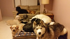 G'night! (happy_hounds) Tags: dogdaycare dog daycare puppy pups boarding cagefree dogsofflickr purebred rescuedog happyhounds plymouthmichigan happyhoundsdogdaycare