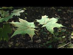 Friendship until the end (Beat09) Tags: autumn green nature leaves leaf herbst natur mapleleaf grn blatt bltter ahornblatt