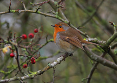 Robin (Treflyn) Tags: camera wild bird up robin wildlife next wrong turned berkshire unexpectedly graden bold settings rather wokingham