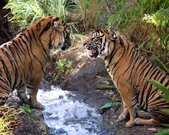 The Winner (Penny Hyde) Tags: tiger bigcat safaripark