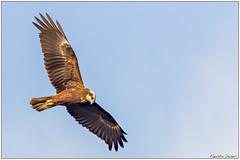 Falco di palude (Fausto Deseri) Tags: marshharrier circusaeruginosus wildlife nature falcodipalude sitodimanzolino wild birds oasiditivolimanzolino pentaxk3 pentaxfa300mmf45edif tckenkoaf15x