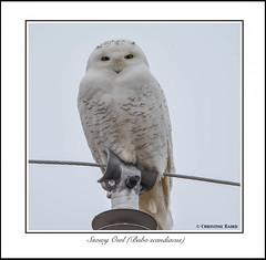 Snowy Owl (Summerside90) Tags: autumn ontario canada fall nature birds december wildlife owls birdwatcher snowyowl portrowan