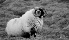 Horny Ram 2 (mootzie) Tags: grass horns lewis curly croft wooly ram ness