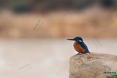 Martin-pcheur d'Europe Alcedo atthis - Common Kingfisher (aziouezmazouz) Tags: birds canon colours cutie 300mm l usm f28 birdwatcher 5kmkiii