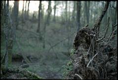Unearthed roots (elkarrde) Tags: trees film forest landscape 50mm pentax kodak iso400 croatia canoscan 400asa kodakgold twop pentaxmzs fa5014 c41 mzs colornegative devastated kodakgold400 vuescan 8800f jastrebarsko canoscan8800f smcpentaxfa50mm114 camera:brand=pentax film:brand=kodak justpentax film:format=135 canoncanoscan8800f film:name=kodakgold400 location:country=croatia lens:focallength=50mm pentaxart film:process=c41 film:speed=400 lens:maxaperture=14 developer:name=c41 location:city=jastrebarsko film:aspect=32 lens:brand=pentax camera:format=135 lens:format=135 camera:mount=kaf2 camera:model=mzs lens:mount=kaf2 gović devastatedforest lens:model=fa11450mm