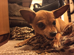 tiny diapers aint havin it (macywood) Tags: chihuahua vicious