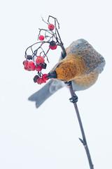 Pine Grosbeak - Pinicola enucleator (L.Mikonranta) Tags: nature birds pine canon finland eos is 300mm 7d l usm grosbeak jyvskyl f28 ef pinicola enucleator canonef300mmf28lisusm taviokuurna canoneos7d pinenu copyrightlm